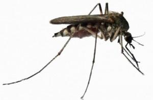 Комар обыкновенный - переносчик личинок дирофилярий