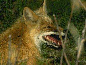 Лисы - основные носители и переносчики бешенства среди диких животных в средней полосе России