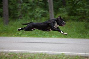 Амстафф - активная подвижная собака, требующая воспитания, дрессировки  и физических нагрузок